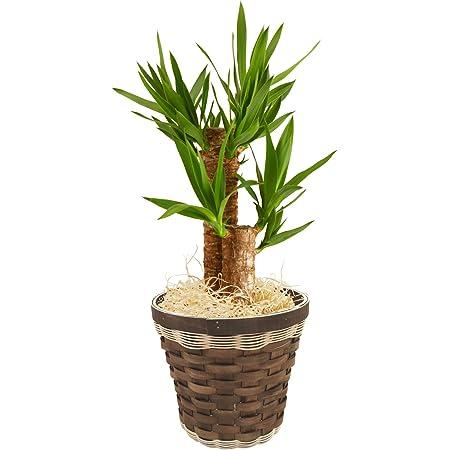 青年の木 ユッカ 6号鉢バスケット 観葉植物 インテリア グリーン