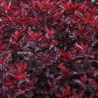 Best purple leaf cherry tree Reviews