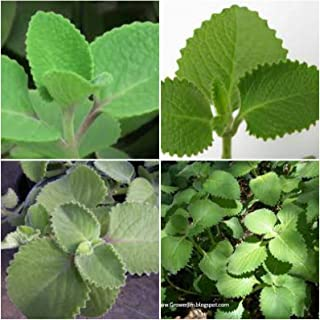 2 Cuban Oregano~Mexican Mint~Spanish Thyme~Well Rooted Plant 7 to 10 Inches