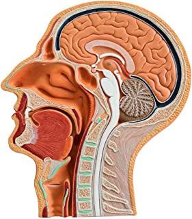 Evotech Scientific Human Anatomical Half Head and Face Anatomy Medical Brain Neck Median Section Study Model