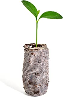 TreesAgain Calamondin Tree - × Citrofortunella microcarpa - Starter Plug (See State Restrictions)