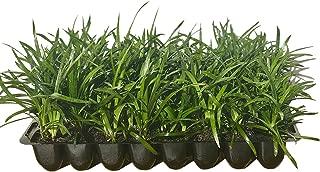 Super Blue Liriope Muscari - 10 Live Plants - Evergreen Ground Cover Grass
