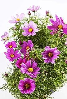 Semillas de flores de cosmos (Cosmos bipinnatus) 500 semillas. Una mezcla colorida que consiste en todo tipo de flores de cosmos de colores. ¡Jardinería divertida y súper fácil!