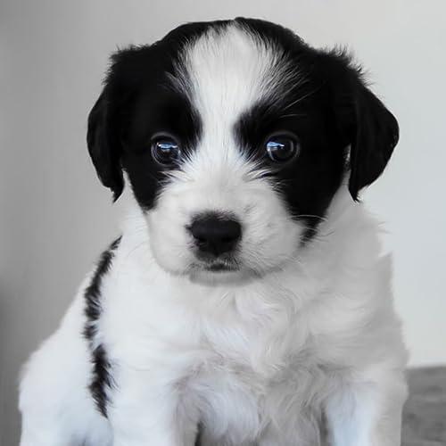 Husky Puppies Wallpaper