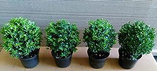 70 Stück Ilex crenata Stokes,schnell wachsende Heckenpflanze Japan-Hülse15-25 cm