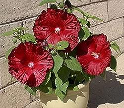 Seeds Market Rare Honeymoon Deep Red Hibiscus Seeds, Professional Pack, 20 Seeds / Pack, The Darkest, Most Velvety Red Ever Bonsai Flower