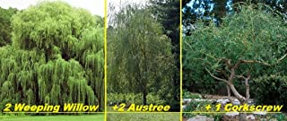 Best twisted willow tree for sale Reviews