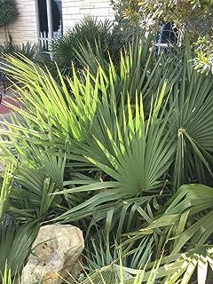 HOT - Sabal Louisiana Dwarf Louisiana Palmetto Seeds