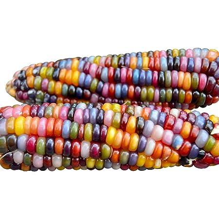 Crimson Open Pollinated Non-GMO Indian Corn 100+ seeds