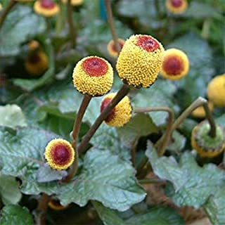 CROSO HIGH Germination Seeds ONLY NOT Plants: Toothache Seeds- Spilanthes - 100 Seeds- Bogo Sale