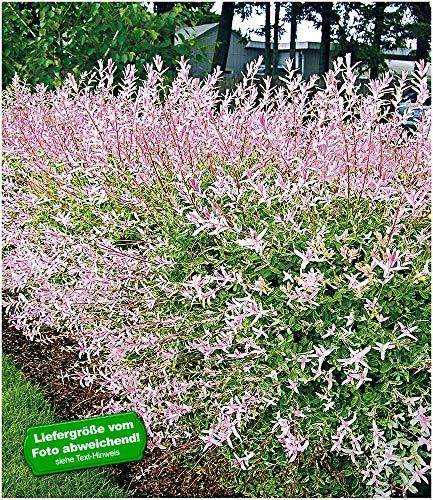 BALDUR-Garten Salix-Hecke