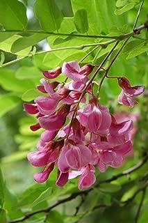 10 Seeds of Indigofera Tinctoria/True Indigo - Flower Rare Seeds