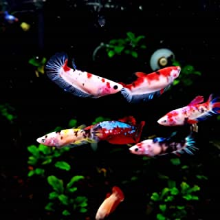 Polar Bear's Pet Shop HOT! Live Fish Live Betta Female Koi Buy 5 Get 1 Free