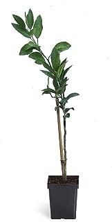 Best satsuma mandarin tree size Reviews