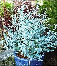 BALDUR Garten Winterharter Eukalyptus 'Azura&#39