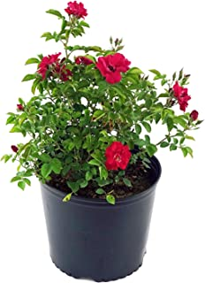 Best scented rose plant online Reviews