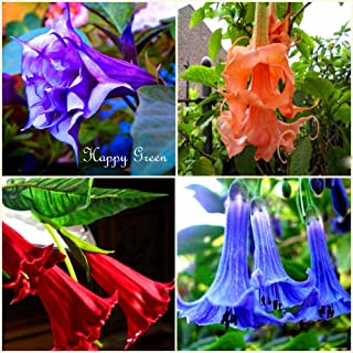 HOT - Angel's Trumpets Mix - 6 Seeds - Datura brugmansia - Tropical Woody Shrub