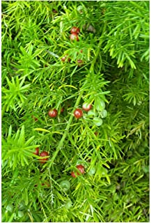 Asparagus racemosus 15 seeds Shatavari Wild Indian Asparagus From Nepal Zones 8+ Or grow as a houseplant white Flowers Ornamental