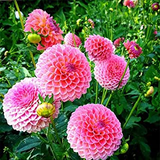 BUY 3 GET 2 FREE Dahlia Seeds 100 Pcs Santa Claus Dahlia Seeds Home
