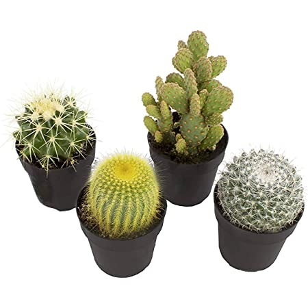 Amazon Com Altman Plants Assorted Live Cactus Collection Mini Real Cacti For Planters Or Gifts 2 5 Inch 4 Pack Garden Outdoor