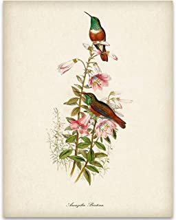 Two Hummingbirds Illustration - 11x14 Unframed Art Print - Great Home Decor and a Great Gift Under $15 for Bird Watchers