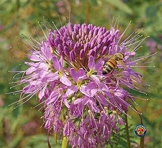 75 Rocky Mountain Beeplant Flower Seeds Cleome serrulata - Comb S/H - TheGardeningWorld