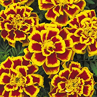 Outsidepride Tagetes Patula Durango Bee French Marigold Flower Seed - 500 Seeds