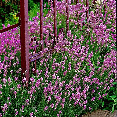 5ST Lavendel Angustifolia