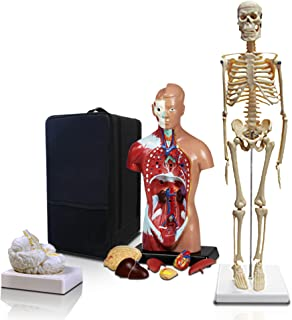 Parco Scientific PBM-B2 Elementary and High School Learning Package. Set of Three Human Anatomy Models, Skeleton, Torso and Brain with Carrying Case