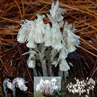 Best Garden Seeds Real Monotropa Uniflora Indian Pipe Cheilotheca Humilis w/ White Flowers