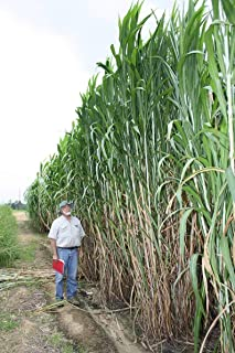 Elephant Grass Seeds - 100 Seeds - Tallest Grass in The World - Ships from Iowa, Made in USA