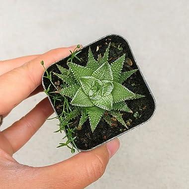 Haworthia 'Zebra Plant' White Stripe Aloe Spiky Succulent (2 inch)
