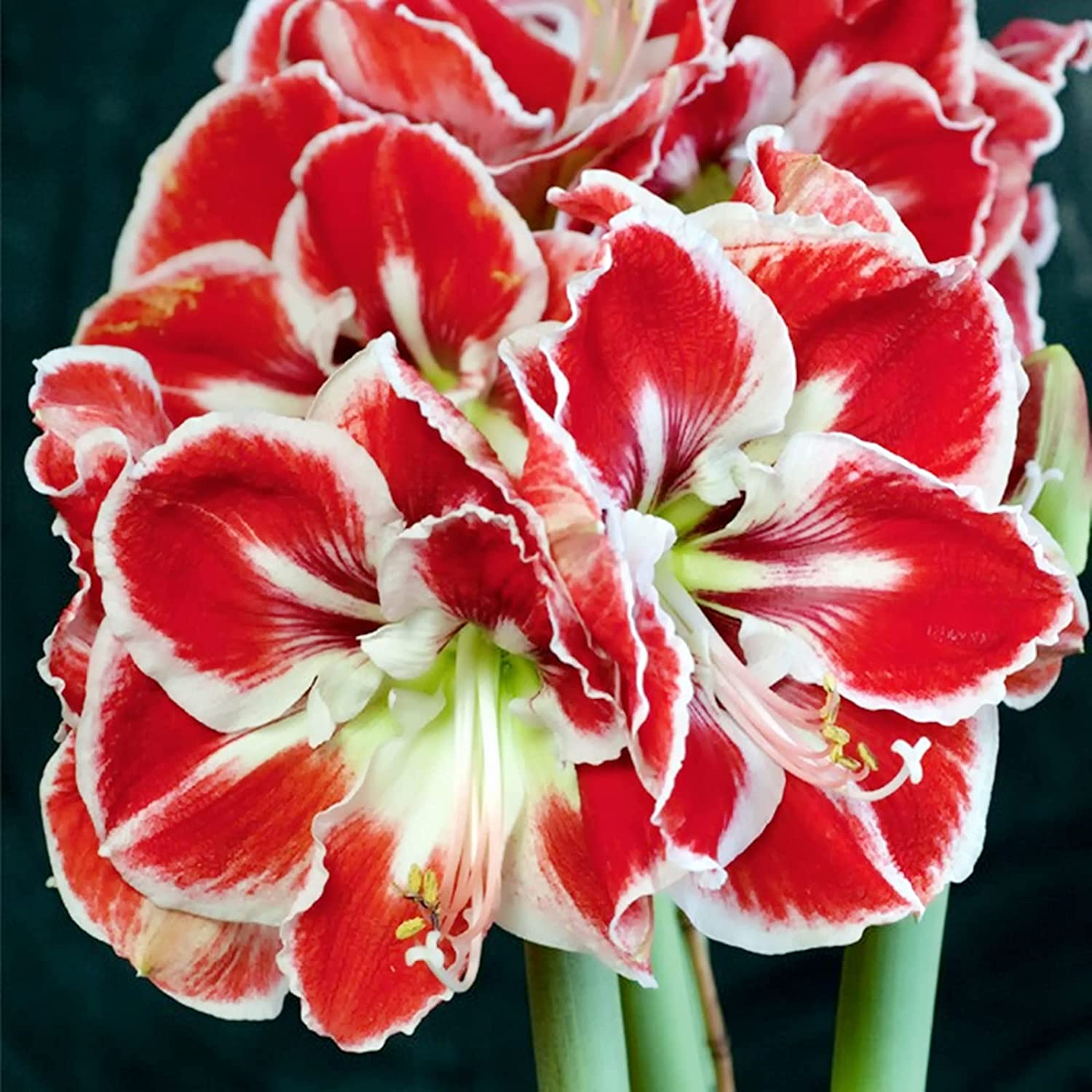 Mysterious Amaryllis Bulb shopping Gift Fort Worth Mall Exotic