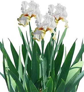 Reblooming Bearded Iris Halloween Halo - 1 Large Rhizome - Fragrant | Ships from Easy to Grow TM