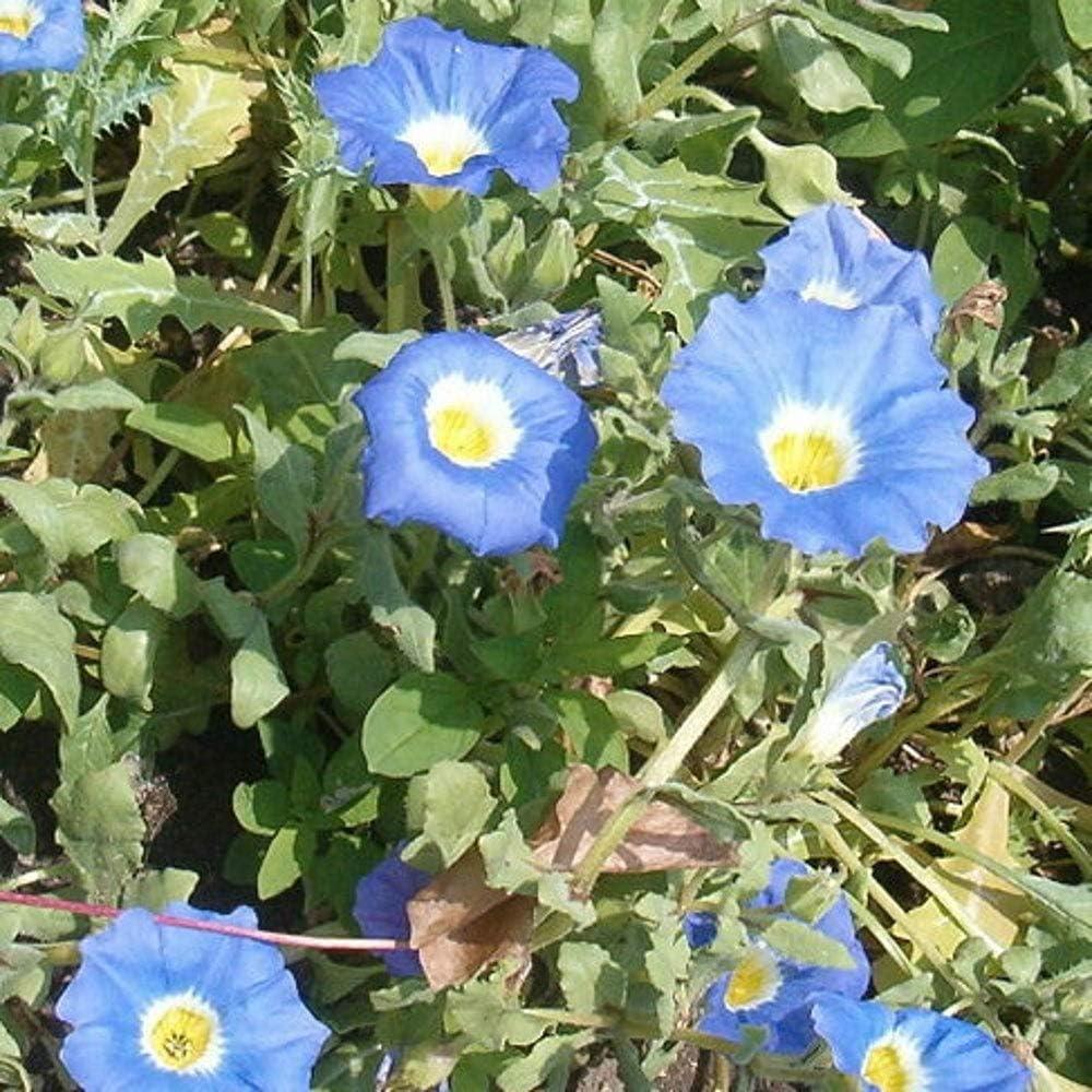 25 Blue Selling Washington Mall rankings Chilean Bellflower Nolana Cove Paradoxa Succulent Ground