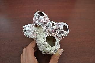 Purple Barnacle Coral Cluster Sea Shell Reeftank Aquarium Decor