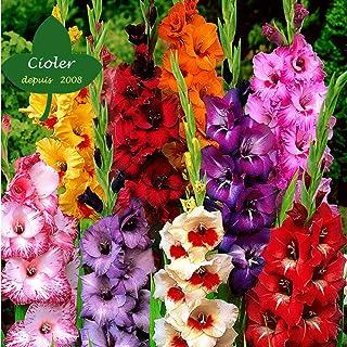 CIOLER Seed House - Raras Flor grande Gladiolos 'Peter Pears' Semillas De Flor Hortícolas Plantas Raras exótico perennes resistentes