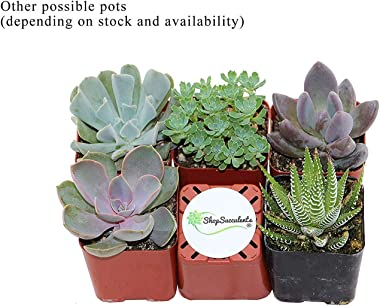 Shop Succulents   Assorted Live Plants, Hand Selected Variety Pack of Mini Succulents   Collection of 5