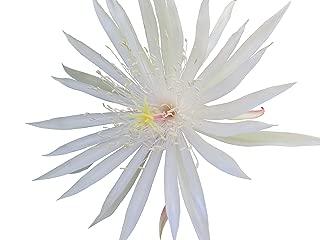 Best epiphyllum plants for sale Reviews