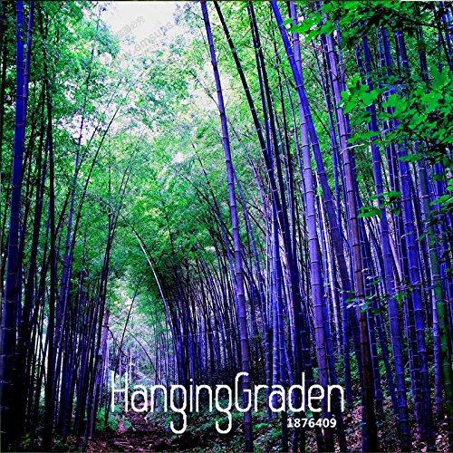 Best-seller! Rare purple Seeds Timor bambou Bambusa graines de bambou noir cour plantée Yi 100 PCS / bag, # QM1EE7