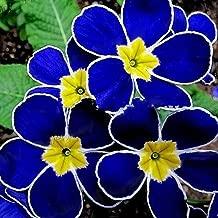 Move on 100Pcs Rare Blue Evening Primrose Seeds for Planting