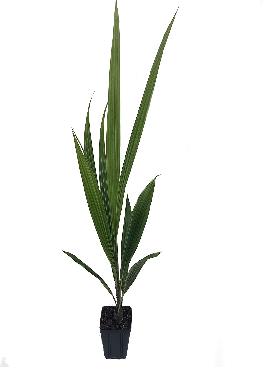 High Plateau Coconut Palm - 3 Live in Pots Becca Max 64% OFF Time sale Plants Inch 4
