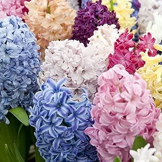 where can i buy hyacinth bulbs