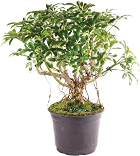 Brussel's Bonsai Live Hawaiian Umbrella Indoor Bonsai Tree - 5 Years Old 8