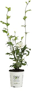 4.5 in. qt. White Chiffon Rose of Sharon (Hibiscus) Live Shrub, White Flowers
