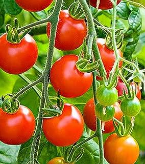 rapunzel cherry tomatoes
