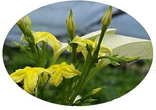 mussaenda flower plant