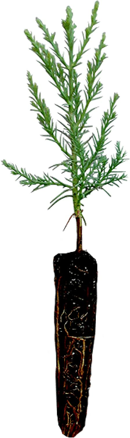 Challenge the lowest price of Japan ☆ Giant Max 66% OFF Sequoia Live Tree Seedling Compan Small The Jonsteen