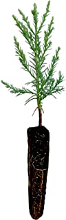 Giant Sequoia | Live Tree Seedling (Small) | The Jonsteen Company