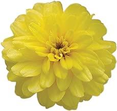zinnia zahara double yellow